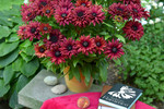 Rudbeckia Flamenco True Red