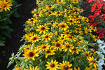 RHS Garden Hyde Hall Rudbeckia SmileyZ Star of Life