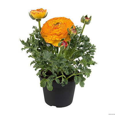 Ranunculus \'Sprinkles Bicolor Yellow Red\'
