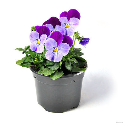 Viola \'Cornet Lilac Purple Wing\'