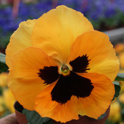 Viola \'Inspire Plus - Select Orange Blotch\'