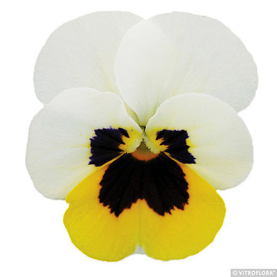 Viola \'Cornet Lemon Ice Blotch\'