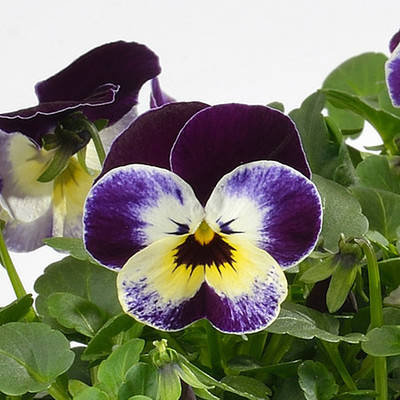 Viola \'Cornet Jolly Face\'