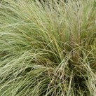 Carex comans 'Amazon Mist'