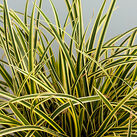 Carex morowii 'Vanilla Ice'