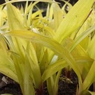 Carex siderosticha 'Lemon Zest'