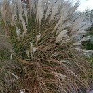 Miscanthus sinensis 'Select'