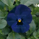 Cornet Deep Blue Eye (Deep Blue Impr.)