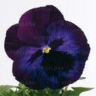 Select Violet Blue Face