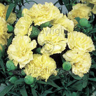 Lillipot Yellow