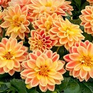 Dahlietta Coby Orange Yellow