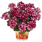 Great Balls of Fire™ Burgundy Blaze