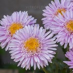 Aster X Pink