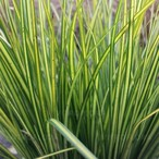 Carex brunnea 'Lady Sunshine'