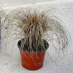 Carex flagellifera 'Bronze Form'