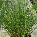 Carex howardii 'Phoenix Green'