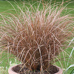 Carex petriei 'Milk Chocolate®'