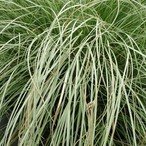 Carex comans 'Frosted Curls'