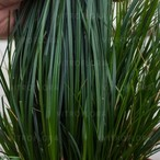 Carex brunnea 'Racing Green'