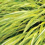 Hakonechloa macra 'Stripe It Rich'