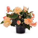 Fragrant Falls® Peach