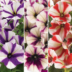 FloraSet Petunia Peppy