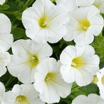 Littletunia White Grace