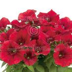 Potunia™ Dark Red
