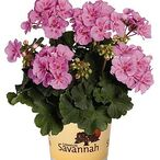 Savannah™ Lavender Splash