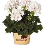 Savannah™ White Splash
