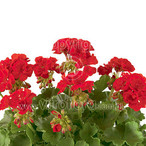 Trendix Multiflora Dark Red
