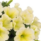 Potunia™ Yellow