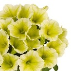 Potunia™ Plus Yellow