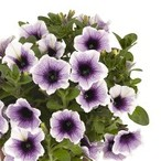 Sweetunia™ Purple Spotlight
