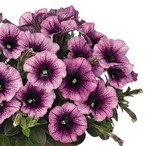 Sweetunia™ Purple Vein
