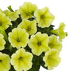Sweetunia™ Yellow