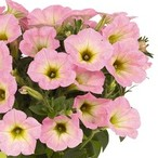 Potunia™ Plus Soft Pink Morning