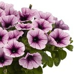 Potunia™ Piccola Purple Ice
