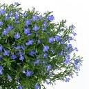 Anabel Blue