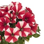 Potunia™ Red Star