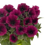 Potunia™ Plus Purple